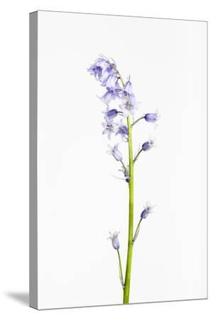 Forest Hyacinth, Hyacinthoides Non-Scripta-Frank Lukasseck-Stretched Canvas Print