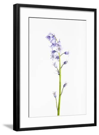Forest Hyacinth, Hyacinthoides Non-Scripta-Frank Lukasseck-Framed Photographic Print