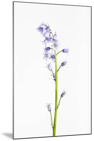 Forest Hyacinth, Hyacinthoides Non-Scripta-Frank Lukasseck-Mounted Photographic Print