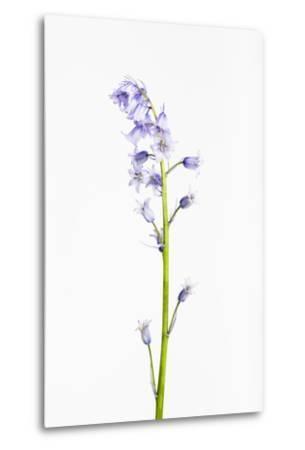 Forest Hyacinth, Hyacinthoides Non-Scripta-Frank Lukasseck-Metal Print