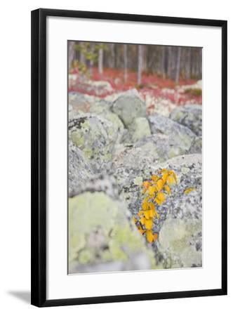Norway, Hedmark, Femundsmark, Femund National Park, Birch, Autumn-Rainer Mirau-Framed Photographic Print