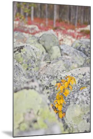 Norway, Hedmark, Femundsmark, Femund National Park, Birch, Autumn-Rainer Mirau-Mounted Photographic Print