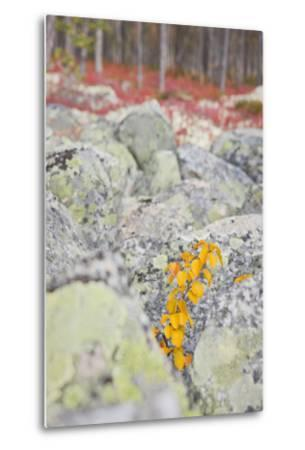 Norway, Hedmark, Femundsmark, Femund National Park, Birch, Autumn-Rainer Mirau-Metal Print