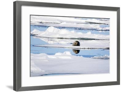 The Atlantic, Pack Ice, Bearded Seal, Erignathus Barbatus-Frank Lukasseck-Framed Photographic Print