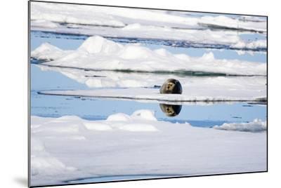 The Atlantic, Pack Ice, Bearded Seal, Erignathus Barbatus-Frank Lukasseck-Mounted Photographic Print