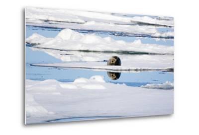 The Atlantic, Pack Ice, Bearded Seal, Erignathus Barbatus-Frank Lukasseck-Metal Print