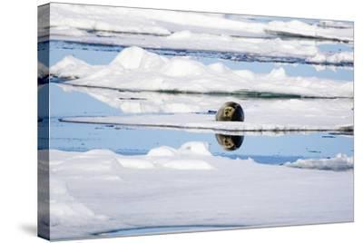 The Atlantic, Pack Ice, Bearded Seal, Erignathus Barbatus-Frank Lukasseck-Stretched Canvas Print
