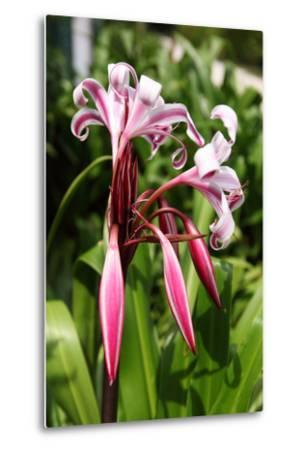 The Seychelles, La Digue, Seychelles Lily, Pink Blossoms-Catharina Lux-Metal Print