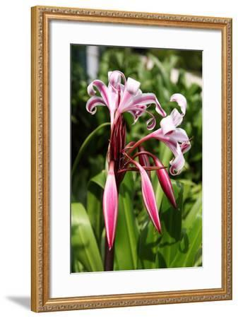 The Seychelles, La Digue, Seychelles Lily, Pink Blossoms-Catharina Lux-Framed Photographic Print