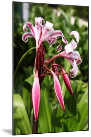 The Seychelles, La Digue, Seychelles Lily, Pink Blossoms-Catharina Lux-Mounted Photographic Print