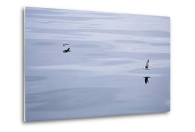 The North Atlantic, Fulmars, Fulmarus Glacialis, Flight-Frank Lukasseck-Metal Print