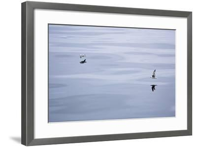 The North Atlantic, Fulmars, Fulmarus Glacialis, Flight-Frank Lukasseck-Framed Photographic Print