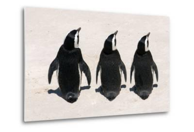 Three African Penguins-Catharina Lux-Metal Print