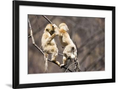 Young Monkeys, Golden Snub-Nosed Monkeys, Rhinopithecus Roxellana, Tree, Branches, Hang, Play-Frank Lukasseck-Framed Photographic Print