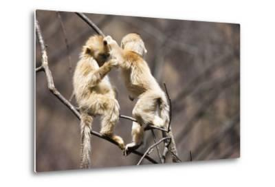 Young Monkeys, Golden Snub-Nosed Monkeys, Rhinopithecus Roxellana, Tree, Branches, Hang, Play-Frank Lukasseck-Metal Print