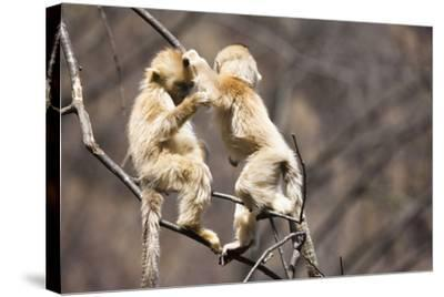 Young Monkeys, Golden Snub-Nosed Monkeys, Rhinopithecus Roxellana, Tree, Branches, Hang, Play-Frank Lukasseck-Stretched Canvas Print
