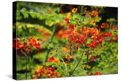 The Seychelles, La Digue, Plant, Peacock Flower or Red Bird of Paradise, Caesalpinia Pulcherrima-Catharina Lux-Stretched Canvas Print