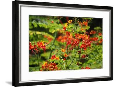 The Seychelles, La Digue, Plant, Peacock Flower or Red Bird of Paradise, Caesalpinia Pulcherrima-Catharina Lux-Framed Photographic Print
