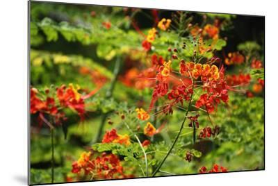 The Seychelles, La Digue, Plant, Peacock Flower or Red Bird of Paradise, Caesalpinia Pulcherrima-Catharina Lux-Mounted Photographic Print