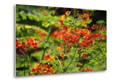 The Seychelles, La Digue, Plant, Peacock Flower or Red Bird of Paradise, Caesalpinia Pulcherrima-Catharina Lux-Metal Print