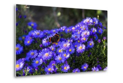 Red Admiral Butterfly Sitting on Flowers-Markus Leser-Metal Print
