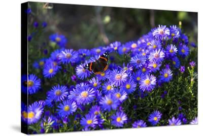 Red Admiral Butterfly Sitting on Flowers-Markus Leser-Stretched Canvas Print