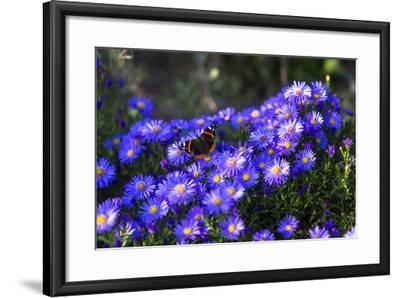 Red Admiral Butterfly Sitting on Flowers-Markus Leser-Framed Photographic Print