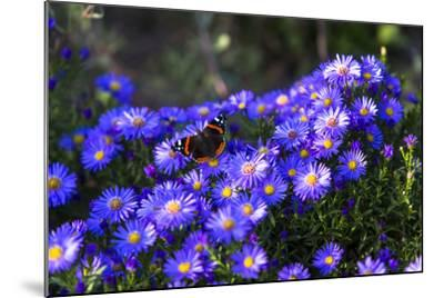 Red Admiral Butterfly Sitting on Flowers-Markus Leser-Mounted Photographic Print