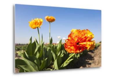 Tulips, Blossom, Blue Heaven-Frank Lukasseck-Metal Print