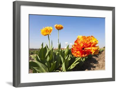 Tulips, Blossom, Blue Heaven-Frank Lukasseck-Framed Photographic Print