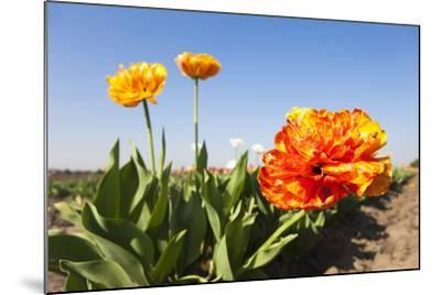 Tulips, Blossom, Blue Heaven-Frank Lukasseck-Mounted Photographic Print