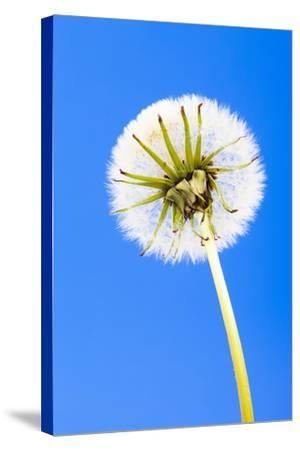Dandelion, Blowball, Taraxacum Officinale, Blue Background-Frank Lukasseck-Stretched Canvas Print