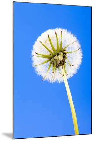 Dandelion, Blowball, Taraxacum Officinale, Blue Background-Frank Lukasseck-Mounted Photographic Print