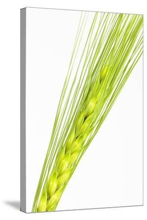 Barley Ear, Hordeum Vulgare-Frank Lukasseck-Stretched Canvas Print