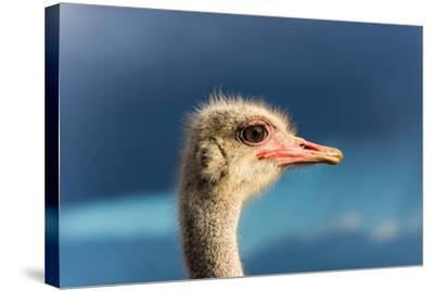 South Africa, Oudtshoorn (Town), Ostrich, Head, Portrait, from the Side-Catharina Lux-Stretched Canvas Print