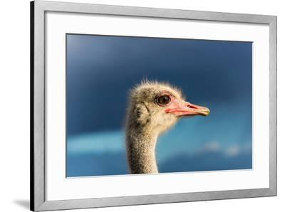 South Africa, Oudtshoorn (Town), Ostrich, Head, Portrait, from the Side-Catharina Lux-Framed Photographic Print