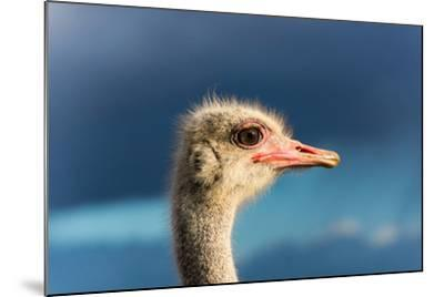 South Africa, Oudtshoorn (Town), Ostrich, Head, Portrait, from the Side-Catharina Lux-Mounted Photographic Print