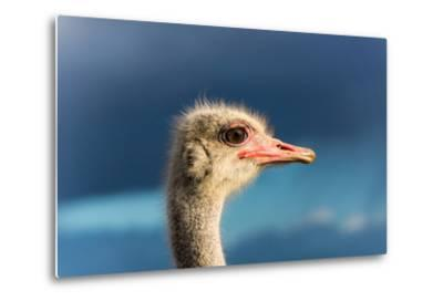 South Africa, Oudtshoorn (Town), Ostrich, Head, Portrait, from the Side-Catharina Lux-Metal Print