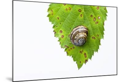Snail, Leaf-Frank Lukasseck-Mounted Photographic Print