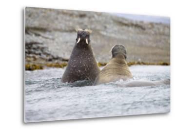 The Atlantic, Walruses, Odobenus Rosmarus, Swimming-Frank Lukasseck-Metal Print
