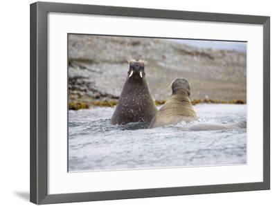 The Atlantic, Walruses, Odobenus Rosmarus, Swimming-Frank Lukasseck-Framed Photographic Print