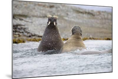 The Atlantic, Walruses, Odobenus Rosmarus, Swimming-Frank Lukasseck-Mounted Photographic Print