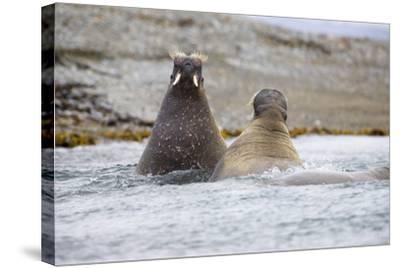 The Atlantic, Walruses, Odobenus Rosmarus, Swimming-Frank Lukasseck-Stretched Canvas Print