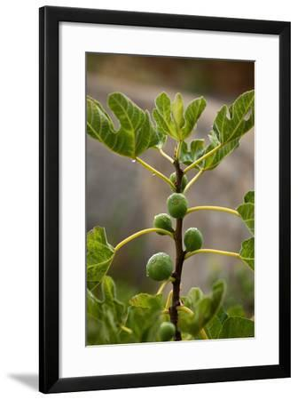 Greece, Crete, Fig Tree-Catharina Lux-Framed Photographic Print