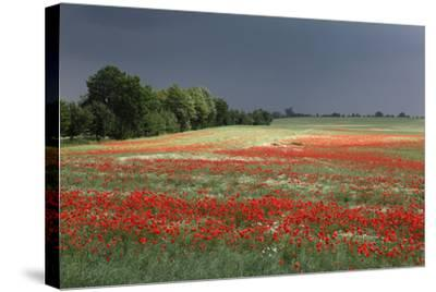 Mecklenburg-Western Pomerania, Landscape, Poppy Field, Stormy Atmosphere-Catharina Lux-Stretched Canvas Print