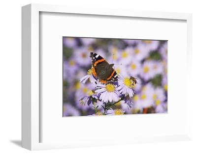 Butterfly, Red Admiral and Insect on Aster Blossoms-Uwe Steffens-Framed Photographic Print