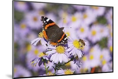Butterfly, Red Admiral and Insect on Aster Blossoms-Uwe Steffens-Mounted Photographic Print