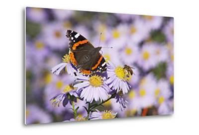 Butterfly, Red Admiral and Insect on Aster Blossoms-Uwe Steffens-Metal Print