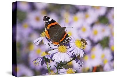 Butterfly, Red Admiral and Insect on Aster Blossoms-Uwe Steffens-Stretched Canvas Print