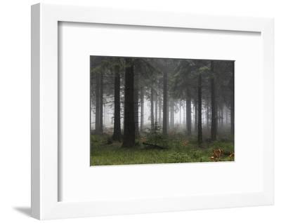 Germany, Thuringia, Rennsteig, Forest, Trees, Fog-Harald Schšn-Framed Photographic Print